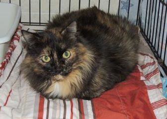 Domestic Longhair/Domestic Shorthair Mix Cat for adoption in Westville, Indiana - Holly
