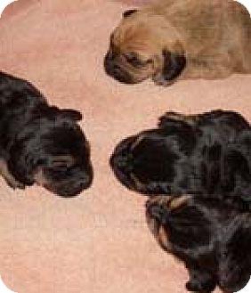 Basset Hound Mix Puppy for adoption in Charleston, South Carolina - Twinkie's Puppies