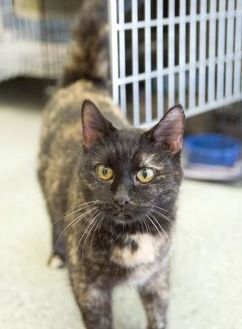 Domestic Shorthair/Domestic Shorthair Mix Cat for adoption in Schererville, Indiana - Kit-Kat