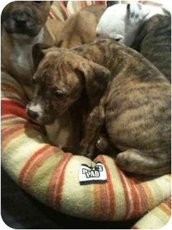 American Pit Bull Terrier Puppy for adoption in nowhere, New York - unnamed