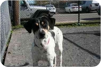 Pointer Mix Dog for adoption in Islip, New York - Ridley