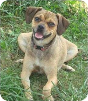 Pug/Beagle Mix Dog for adoption in P, Maine - Tammy