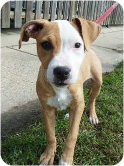 American Bulldog/Terrier (Unknown Type, Medium) Mix Puppy for adoption in Detroit, Michigan - Dahlia-Pending
