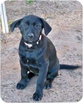 Labrador Retriever Mix Puppy for adoption in South Plainfield, New Jersey - Kelsi