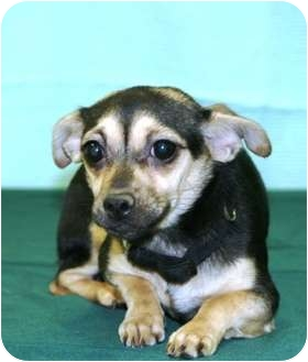 Chihuahua Mix Puppy for adoption in Westminster, Colorado - PALESA