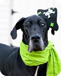 Great Dane Dog for adoption in Virginia Beach, Virginia - Zeus