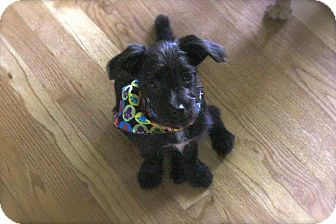 Maltese/Rat Terrier Mix Puppy for adoption in Conway, New Hampshire - Susie