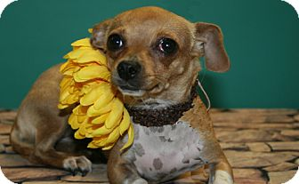 Chihuahua Mix Dog for adoption in Flower Mound, Texas - Bev