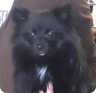 Pomeranian Mix Dog for adoption in Belvidere, Illinois - Piper
