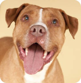 American Pit Bull Terrier Dog for adoption in Chicago, Illinois - Oakley