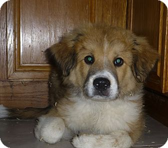 Great Pyrenees/Golden Retriever Mix Puppy for adoption in Oviedo, Florida - Sire