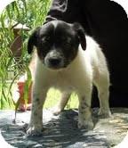 Border Collie/Australian Shepherd Mix Puppy for adoption in Brattleboro, Vermont - Boomarang