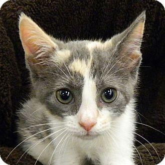 Calico Kitten for adoption in McCormick, South Carolina - Virginia