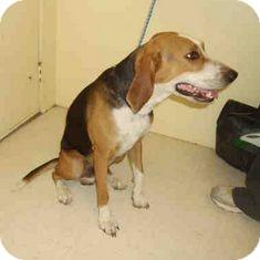 Foxhound Mix Dog for adoption in Yuba City, California - 08/30 Willie
