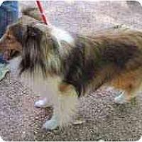 Adopt A Pet :: Celeste - apache junction, AZ