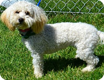 Poodle (Miniature) Mix Dog for adoption in Fruit Heights, Utah - Dolly