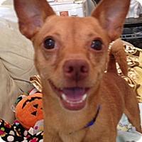 Adopt A Pet :: Bosco- I am great with dogs! - Redondo Beach, CA