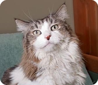 Maine Coon Cat for adoption in Oakland, California - Sonoma