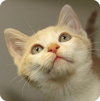 Domestic Shorthair Kitten for adoption in Staunton, Virginia - Lilo