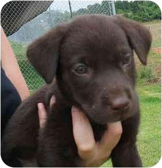 Labrador Retriever Mix Puppy for adoption in Cumming, Georgia - Simba