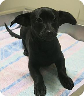 Chihuahua Mix Puppy for adoption in Manteca, California - Spot