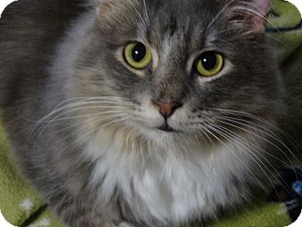 Domestic Longhair Cat for adoption in Round Rock, Texas - Oliver