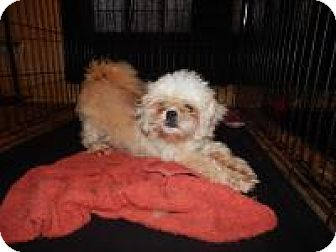 Shih Tzu Mix Dog for adoption in Holden, Missouri - Sloan