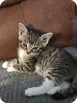 Maine Coon Kitten for adoption in Los Angeles, California - Reese