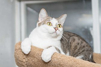 Domestic Shorthair Cat for adoption in Chicago, Illinois - Lily
