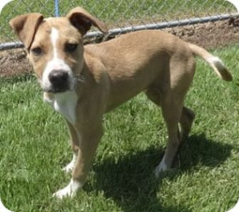 American Pit Bull Terrier Mix Puppy for adoption in Olive Branch, Mississippi - Kesha