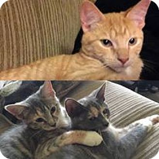 Domestic Shorthair Cat for adoption in Waldorf, Maryland - Pebbles, Nala, and Garfield