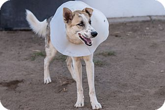 Siberian Husky/German Shepherd Dog Mix Dog for adoption in Las Vegas, Nevada - Potsie
