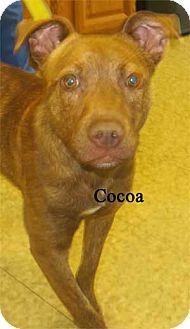 Boxer Mix Puppy for adoption in Warren, Pennsylvania - Cocoa