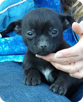 Chihuahua/Pekingese Mix Puppy for adoption in Williamsport, Maryland - Winston (2 lb) Video!