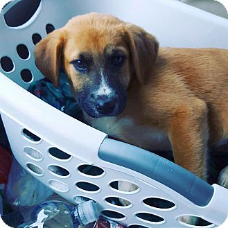 German Shepherd Dog/Labrador Retriever Mix Puppy for adoption in Marietta, Georgia - Fenris