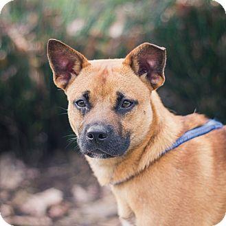 Staffordshire Bull Terrier/Basenji Mix Dog for adoption in Berkeley, California - KC