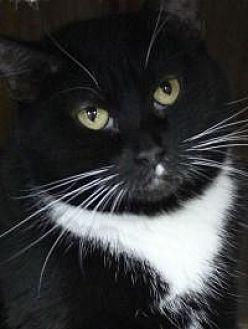 Domestic Shorthair Cat for adoption in Yukon, Oklahoma - Sally