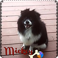 Pomeranian Mix Dog for adoption in Barriere, British Columbia - Mickey