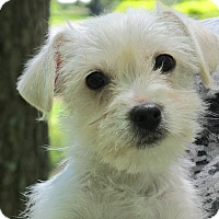 Adopt A Pet :: Blossom - Harrisonburg, VA