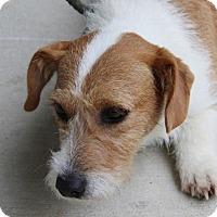 Adopt A Pet :: Foxy (TIA) - Harrisonburg, VA