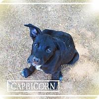 Adopt A Pet :: CAPRICORN - Chandler, AZ