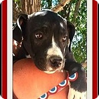 Pit Bull Terrier Puppy for adoption in Las Vegas, Nevada - Parker