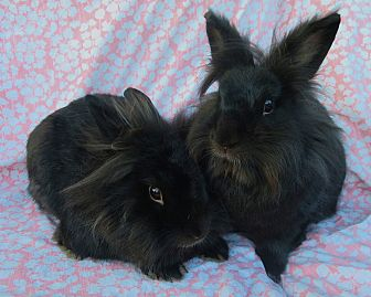 Lionhead Mix for adoption in Los Angeles, California - Bink