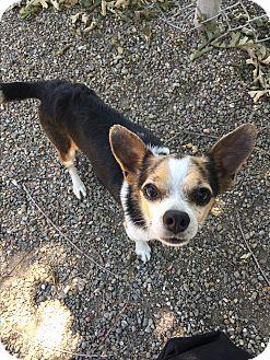 Chihuahua Mix Dog for adoption in Ripon, California - SHADOW