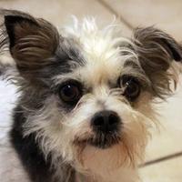 Adopt A Pet :: Jolly Roger - Waco, TX
