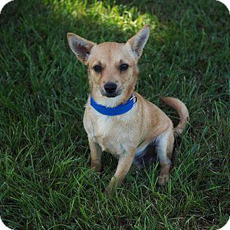 Chihuahua Dog for adoption in Washburn, Missouri - Clarence