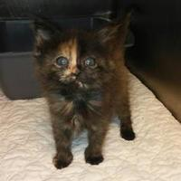 Domestic Mediumhair/Domestic Shorthair Mix Cat for adoption in Savannah, Tennessee - Winnie