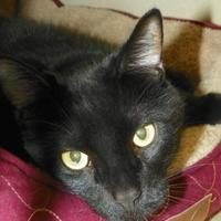 Adopt A Pet :: Shadow - Durango, CO