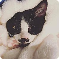 Adopt A Pet :: Beauty - Overland Park, KS