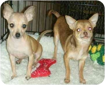 Chihuahua Puppy for adoption in House Springs, Missouri - Alice